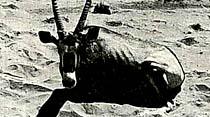 Büyük Antilopların yaşantıları çok ilginç