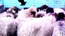 Koyun postu içinde adam kaçırdılar