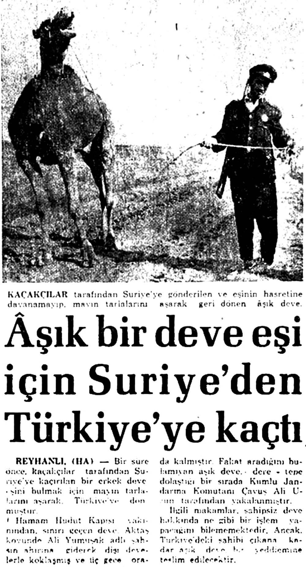 Aşık bir deve eşi için Suriye'den Türkiye'ye kaçtı