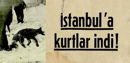 İstanbul'a kurtlar indi!