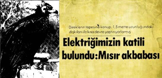 Elektriğimizin katili bulundu: Mısır akbabası