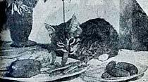 """""""Ete hayır"""" diyen tekir kedi Minnoş sebzeye başladı"""
