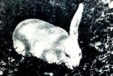 Tek kulaklı tavşan